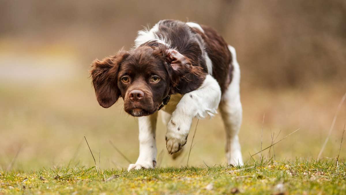 Así es el epagneul bretón: una de las razas de perro de muestra preferidas por los cazadores