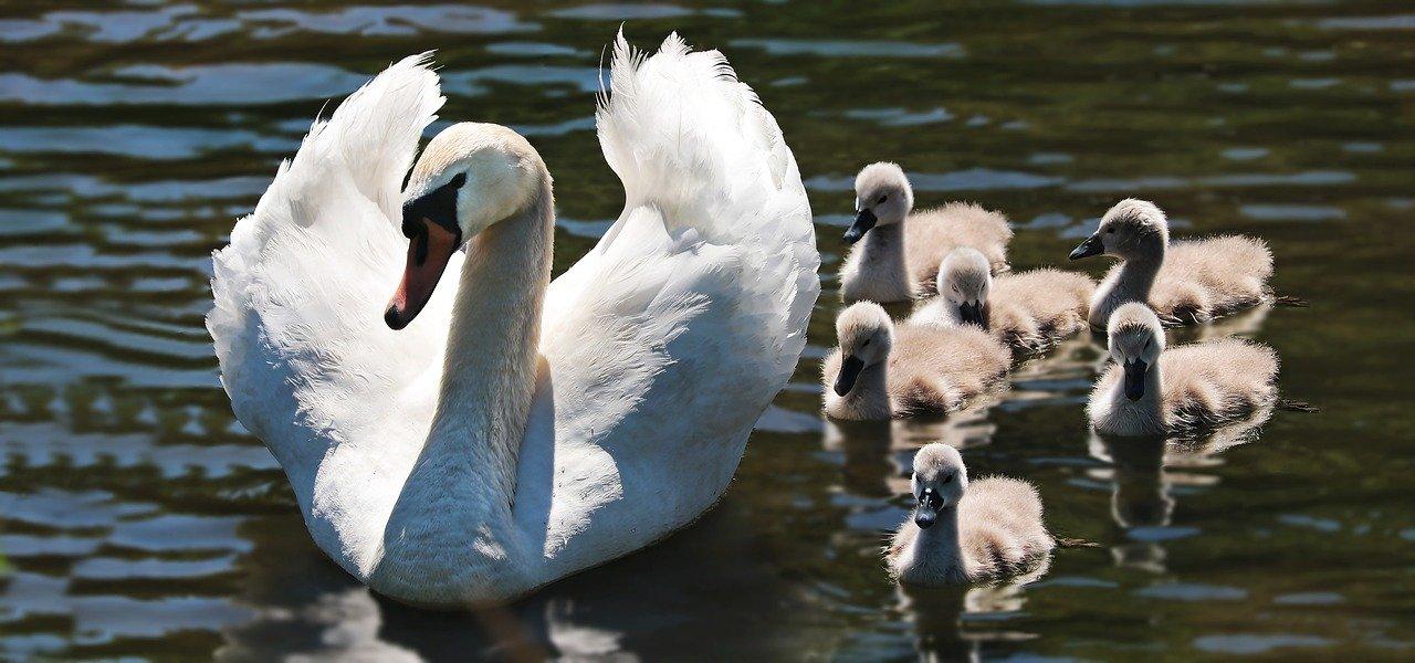 PACMA vuelve a demostrar su ignorancia sobre fauna: confunde patos con cisnes