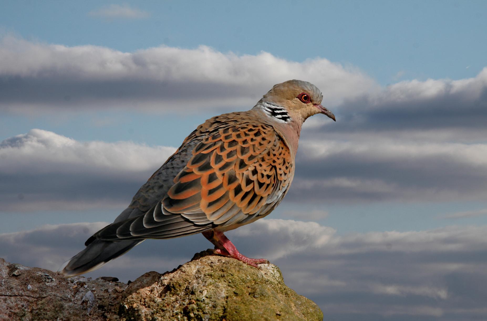 Seo BirdLife insiste en prohibir la caza de la tórtola