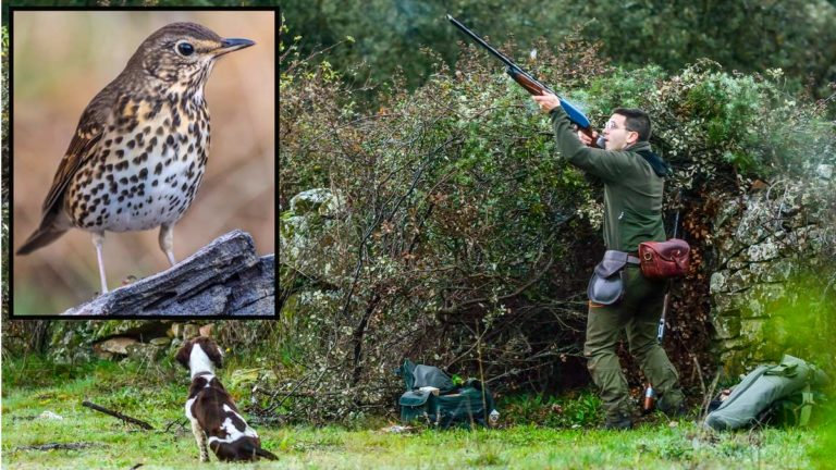 La caza del zorzal requiere una técnica de tiro adecuada para optimizar los resultados. ©JDG y Shutterstock