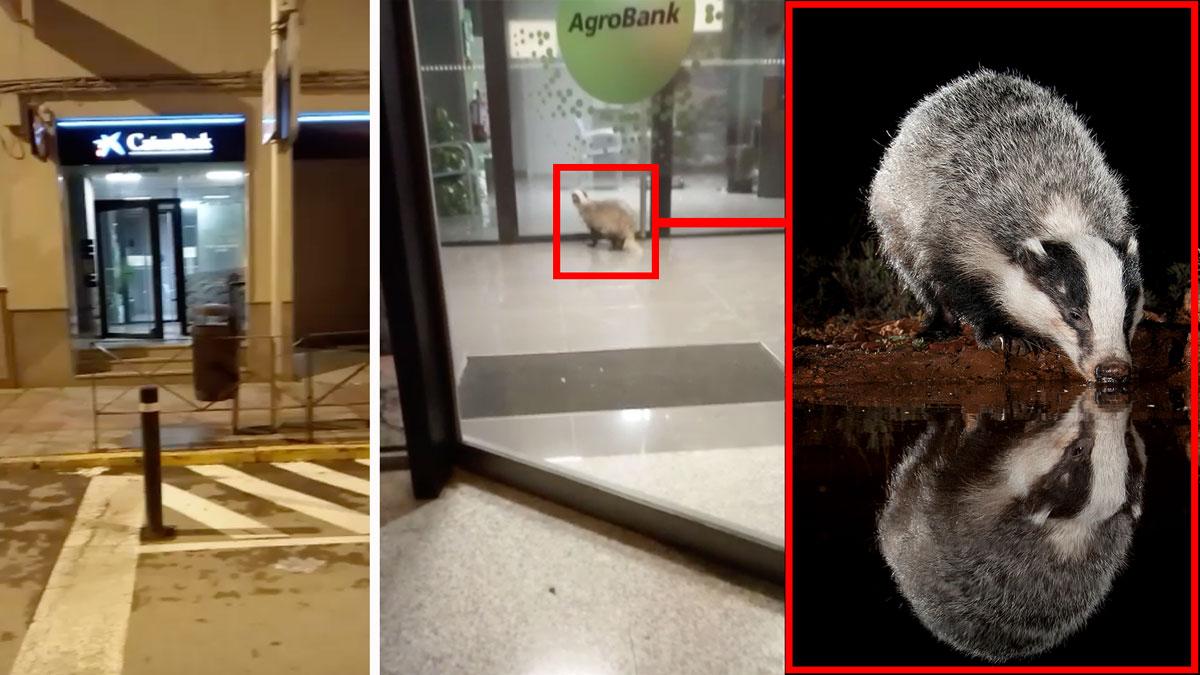 Lo que te faltaba por ver: un tejón entra en una sucursal bancaria de Córdoba