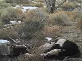 tejon entierra vaca
