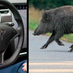 Un Tesla autopilotado está a punto de atropellar a un jabalí
