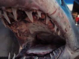 tiburón récord