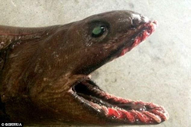Tiburón anguila.