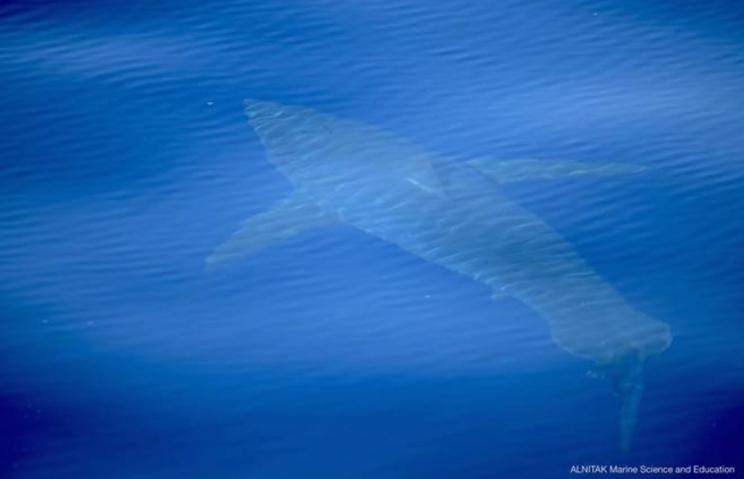Tiburón blanco filmado a 8 kilómetros de la Isla de la Cabrera. / ALNITAK