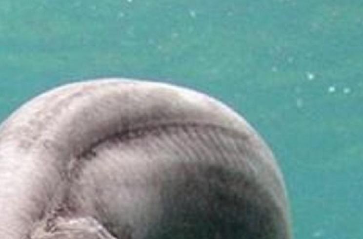 Capturan en Portugal una especie de tiburón que se creía extinta