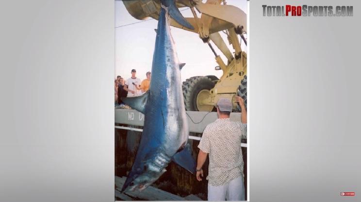 tiburon de aleta corta