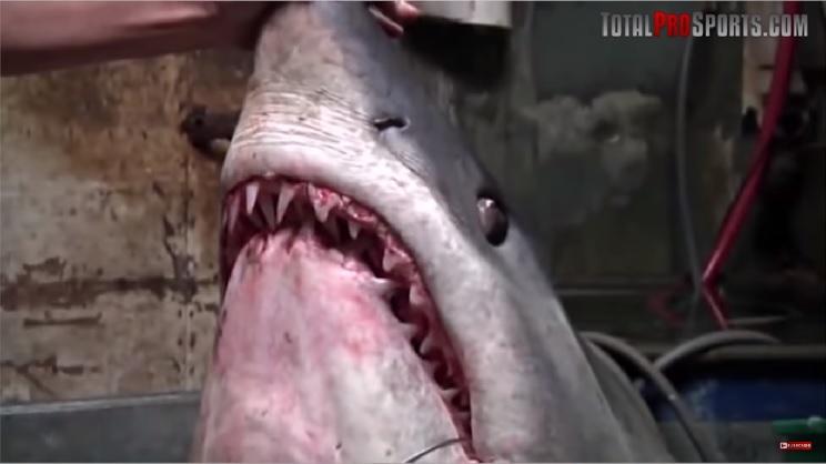 tiburon de mako