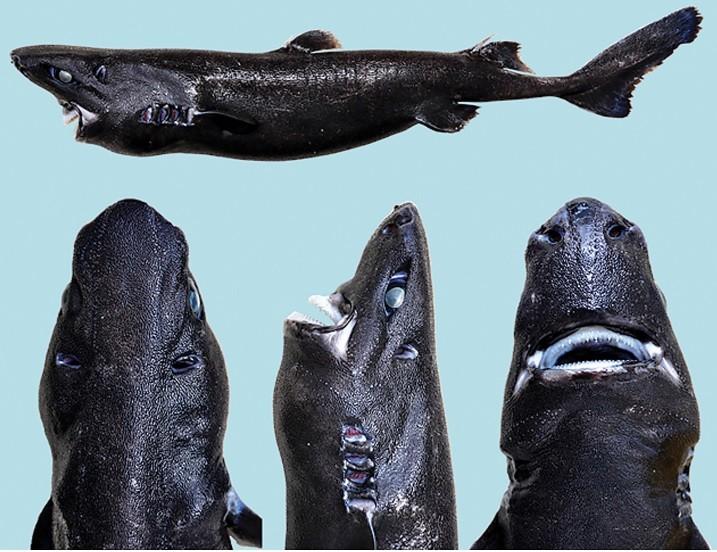 tiburon linterna