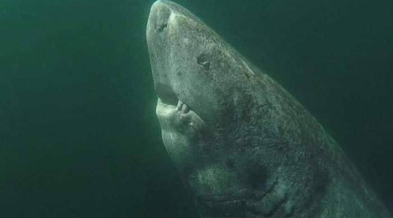 El animal vertebrado más longevo del mundo es un tiburón que puede tener cerca de cinco siglos