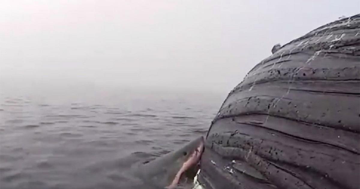 Estas son las impactantes imágenes de un tiburón blanco mordiendo a una ballena