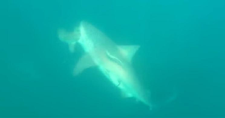 Un enorme tiburón parte por la mitad a otro que este pescador había clavado