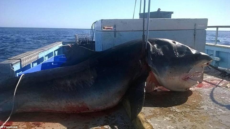Tiburón tigre capturado en Australia / Facebook