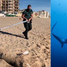 Aparece un tiburón de tres metros y 270 kilos varado en una playa de Alicante