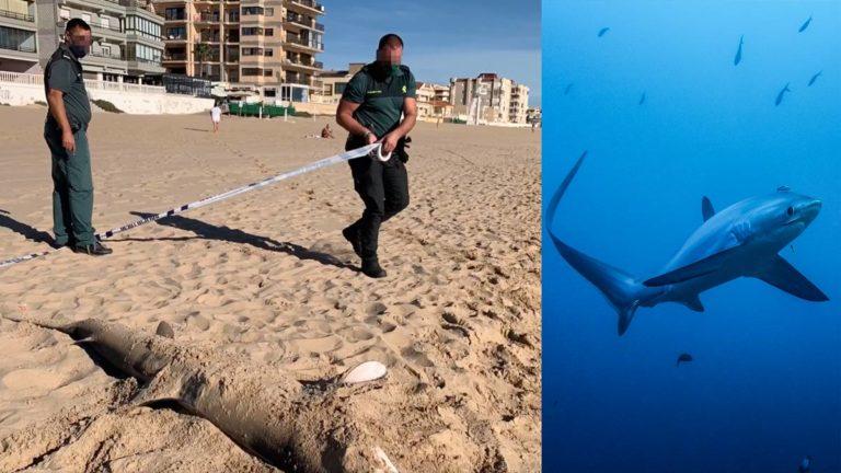 Las autoridades aseguran que se trataba de un tiburón zorro.