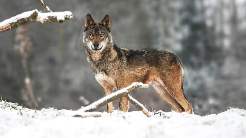 tierra-lobos-congela-valdeon