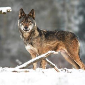 La tierra de los lobos se congela: -35,6º grados en Valdeón (León)
