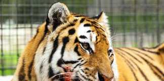 Tigre mata a una mujer