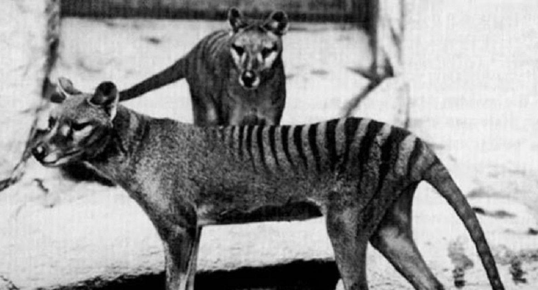 El tigre de Tasmania podría no estar extinto