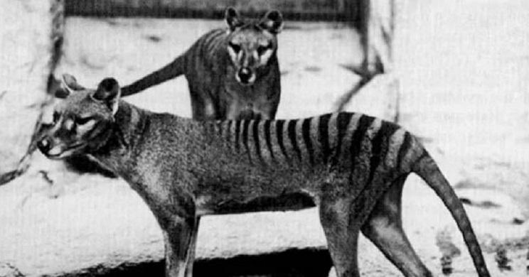 Tigres de Tasmania. / Telegraph