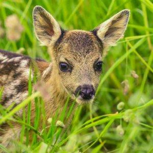 Por qué no debes tocar a las crías de animales salvajes (ciervos, corzos, jabalíes...)