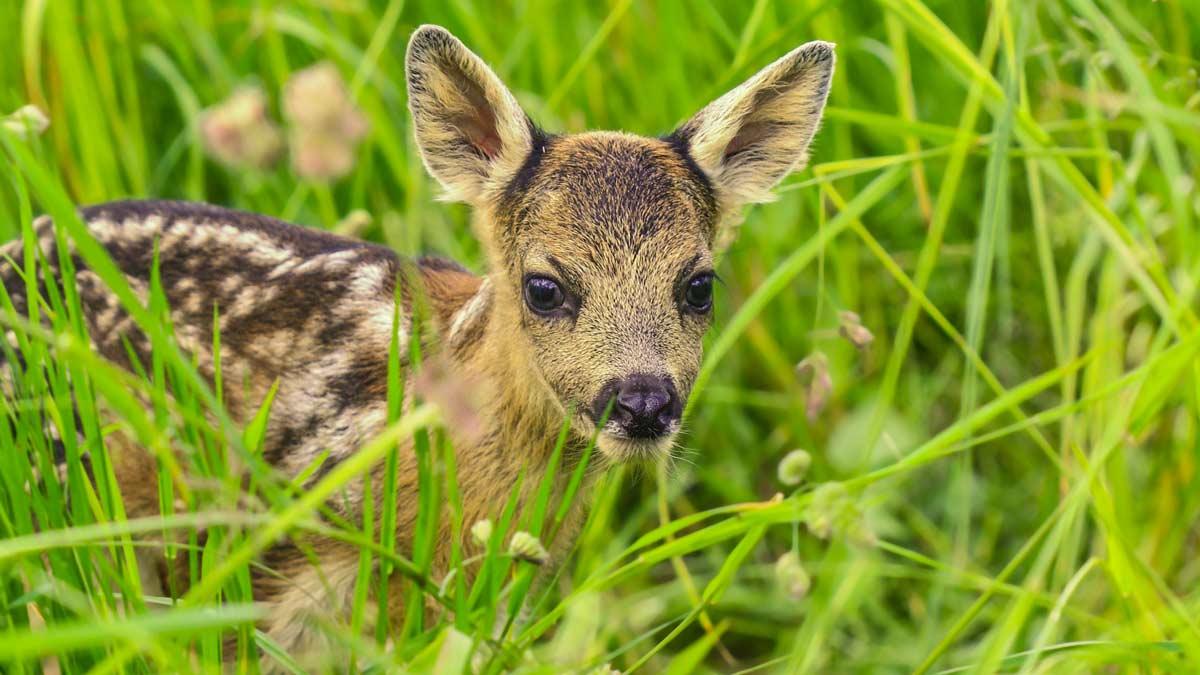 Por qué no debes tocar a las crías de animales salvajes (ciervos, corzos, jabalíes…)