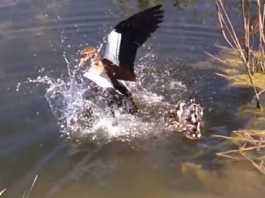 top ten ataques peces a patos