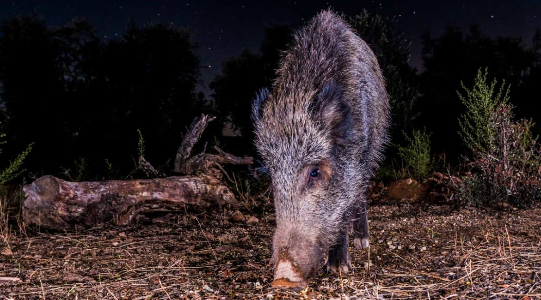 Murcia elimina el toque de queda para los aguardos nocturnos de jabalí