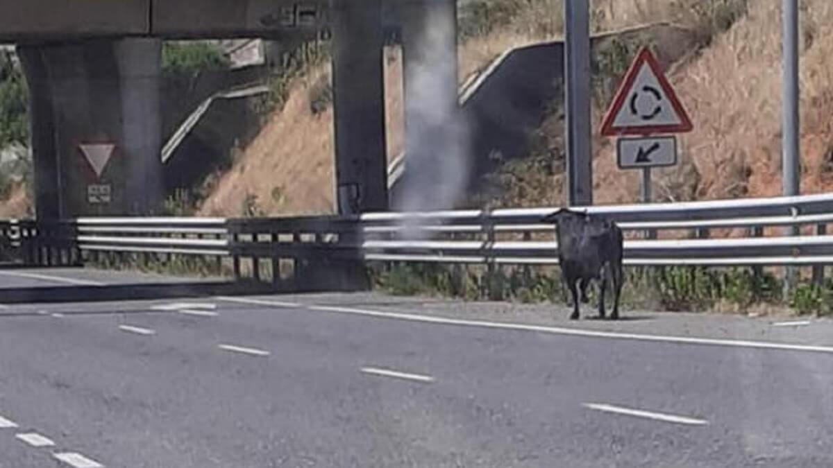 Un cazador abate un toro bravo que se había escapado en Toledo tras pedírselo la Policía