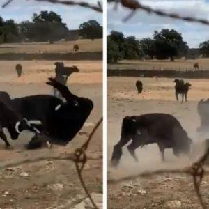 Esto es lo que pasa cuando un grupo de toros bravos enfurecidos se pelean entre sí