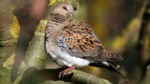 El Gobierno elabora un plan para prohibir la caza de la tórtola ignorando a Europa, según la RFEC