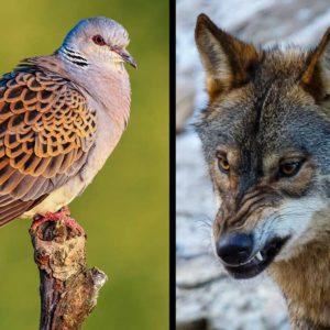 Hugo Morán y Teresa Ribera amenazan a las CCAA para blindar a la tórtola y el lobo en contra del criterio científico, según la RFEC
