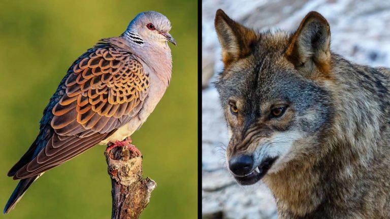 Tórtola europea y lobo ibérico