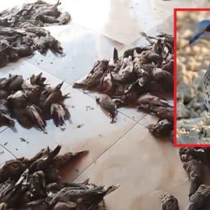 Un nuevo vídeo con cientos de tórtolas muertas indigna a los cazadores españoles