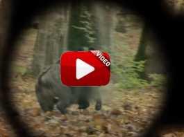 trailer wild boar fever 8.