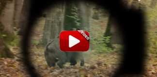 trailer wild boar fever 8.