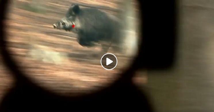 Soberbio vídeo con cerca de treinta lances a jabalíes y zorros