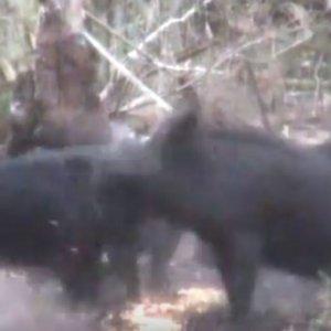 ¿Es posible cazar tres jabalíes de un sólo diparo?