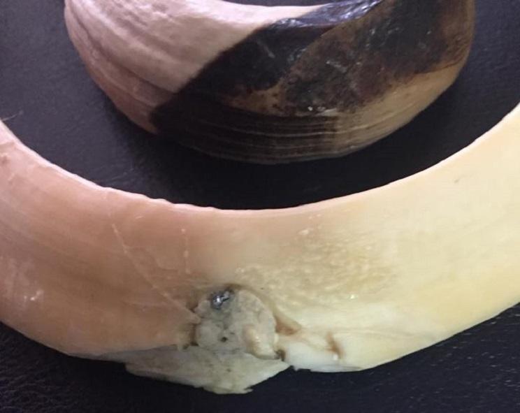 Detalle de la esquirla de plomo alojada en el colmillo derecho. / Artur Miguel Esteves