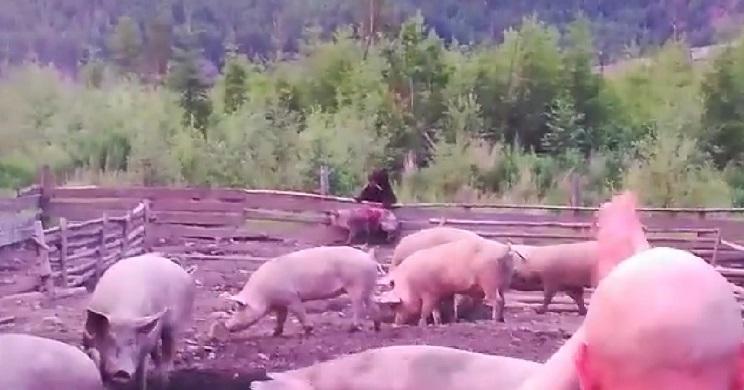 Un oso devora vivo a un cerdo delante del ganadero