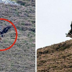 Fotografían a un águila real intentando cazar a un ciervo