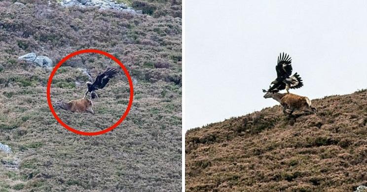 águila ciervo