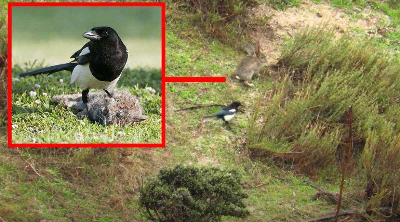 Graban a una urraca intentando cazar un conejo de esta sorprendente manera