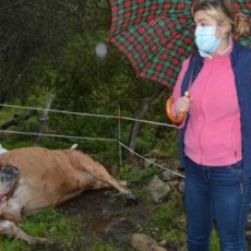 Encuentra a su vaca muerta y con «zaparzos» y los forestales dicen que se desnucó y se la comió un jabalí