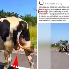 El animalista que confundió a un semental con una vaca lechera rectifica, pero sigue atacando a los ganaderos