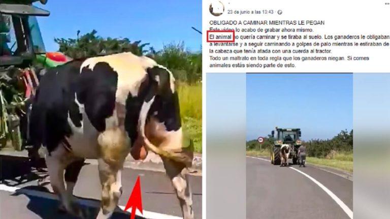 vaca semental
