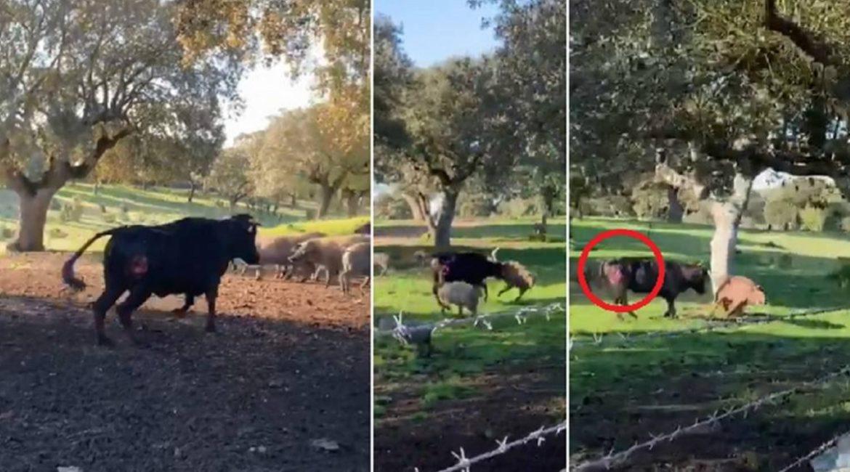 Una vaca da una cornada a un cochino y lo levanta por los aires