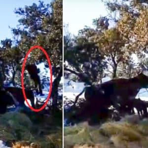 Un vaca brava recién parida embiste a un ganadero que les llevó comida tras la nevada