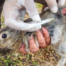 Investigadores de seis países se unen para hallar una vacuna que proteja al conejo de la NHV